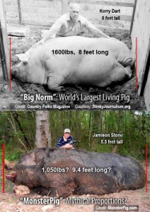 top fattest pigs on earth research