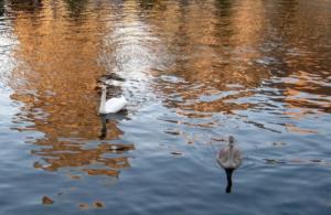 Stan Rams Fotovideo 08 2012 056  golden sun waters zwaan